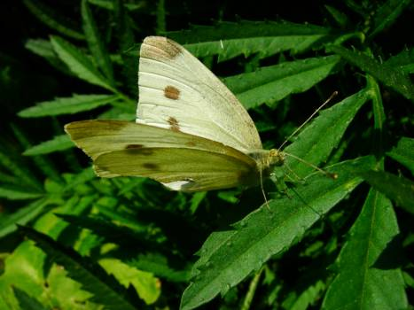 Cabbage butterfly Butterfly Pierid Free Photo