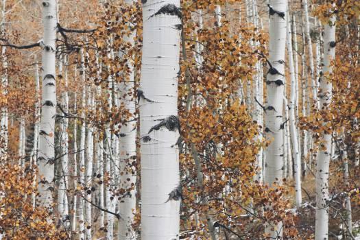 white trees trunks  Free Photo