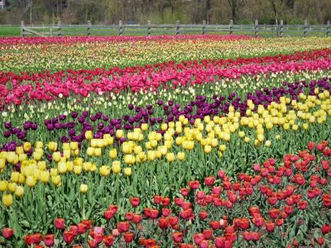 Tulip Tulips Spring #200584