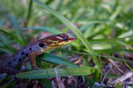Lizard Common newt Newt #200762