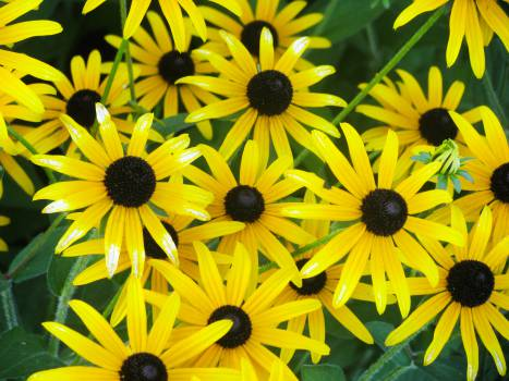 yellow flowers garden  Free Photo