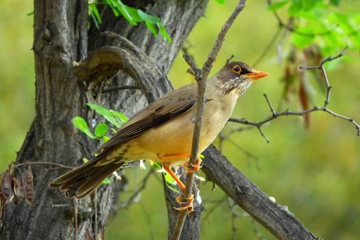 Thrush Bulbul Nightingale Free Photo