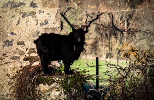 Bull Mammal Wildlife Free Photo