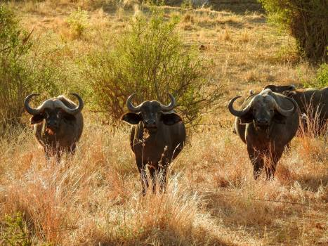 Water buffalo Old world buffalo Ruminant Free Photo