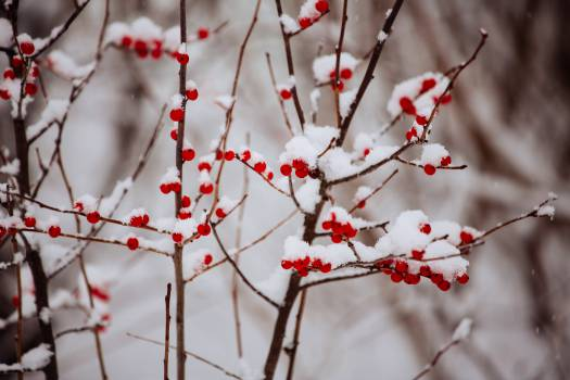 red berries branches  Free Photo