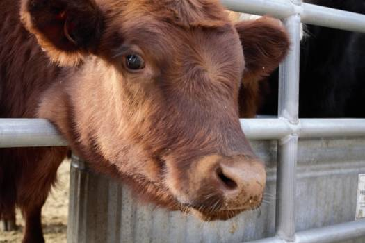 Cow Cattle Calf Free Photo