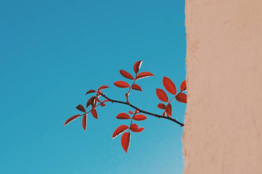 red leaves branch  Free Photo
