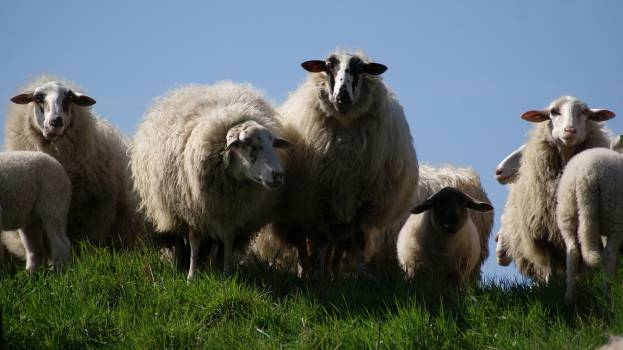 sheep animals grass  #20378