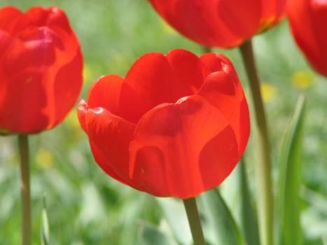 Tulip Tulips Spring #204075
