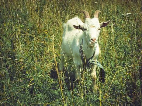 animal goat grass  #20416