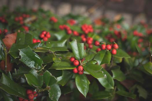 Holly Shrub Christmas Free Photo