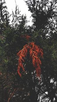 Maple Autumn Leaves #206052