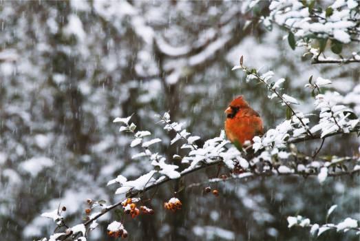 red jay bird trees  #20642
