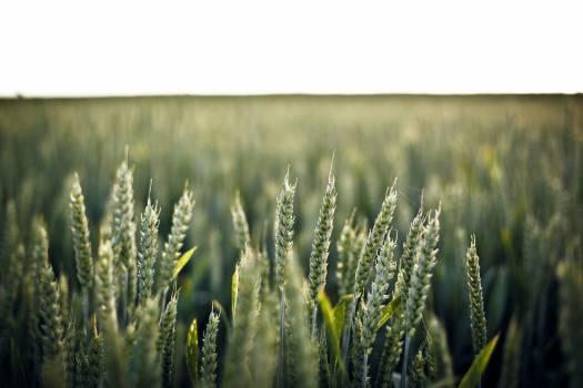 green barley fields  Free Photo