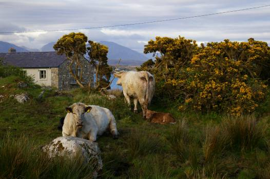 cattle Ireland rural  #20697