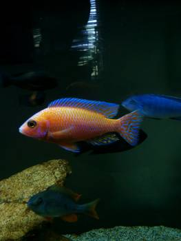 Cyprinid Goldfish Fish Free Photo