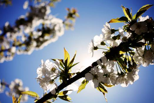 white flowers cherry blossoms  Free Photo