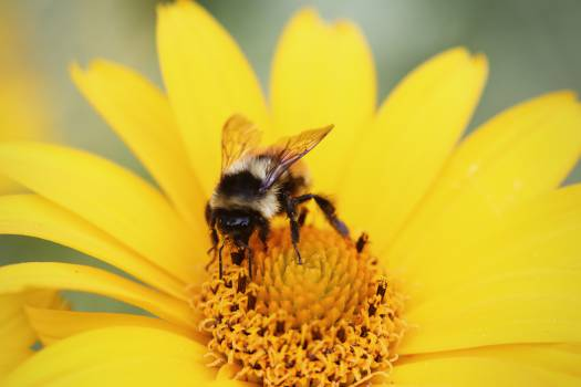 yellow bumble bee wasp  Free Photo