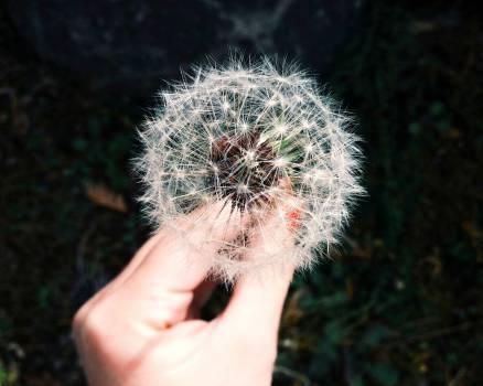 dandelion flower hand  #20721