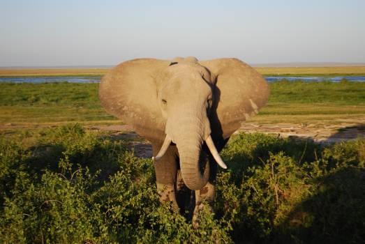 Elephant Mammal African elephant #207236