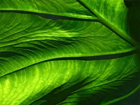 green leaf leaves  #20750