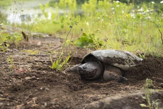 Mud turtle Turtle Reptile Free Photo