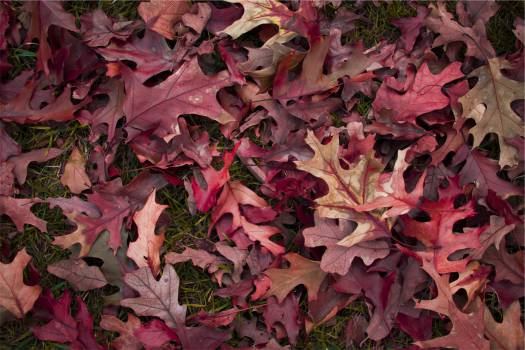 red leaves  #20821