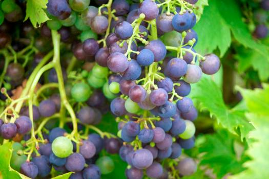 Grape Fruit Grapes Free Photo