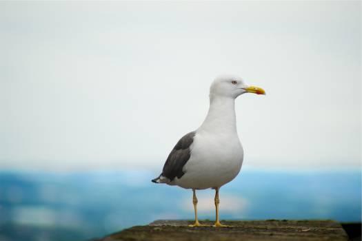 seagull bird animal  #20877