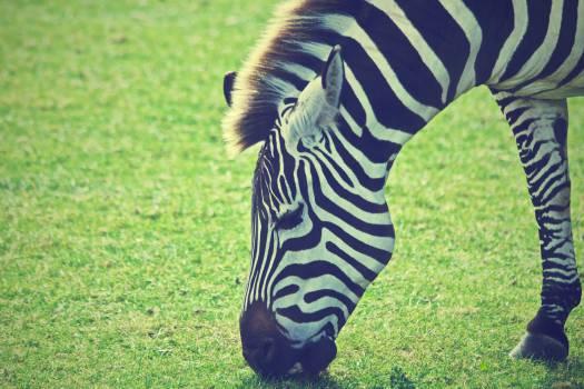 zebra animal mane  Free Photo