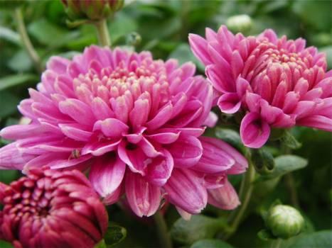 pink flowers garden  #20929