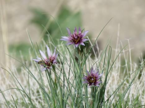 Salsify Herb Vascular plant #209414