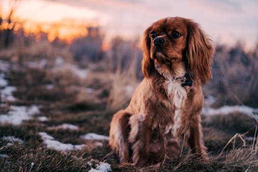 Sussex spaniel Sporting dog Spaniel #209868