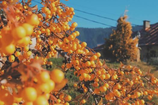 orange berries trees  Free Photo