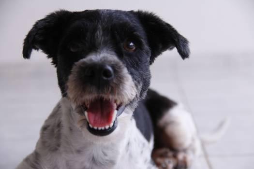 Terrier Dog Schnauzer #210326