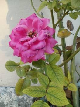 Shrub Rose Pink #210653