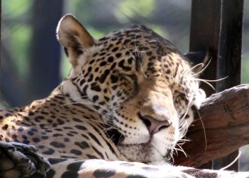 Jaguar Leopard Big cat #210702