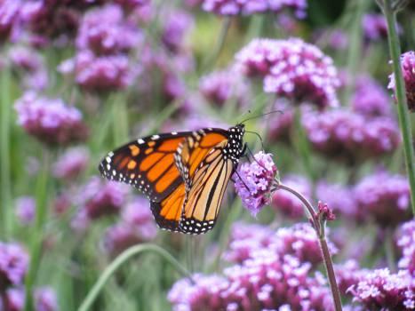 butterfly purple flowers  Free Photo