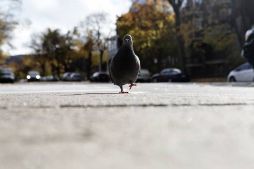 pigeon bird walking  #21120