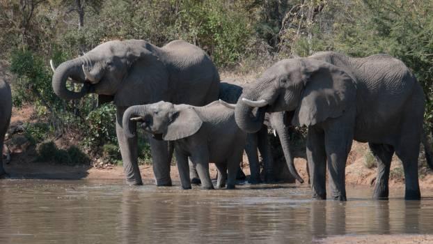 Elephant Mammal African elephant #211516