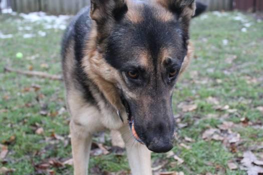 Shepherd dog German shepherd Malinois #211887
