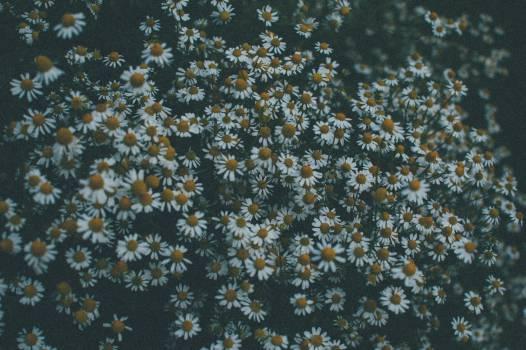 daisy daisies flowers  #21306