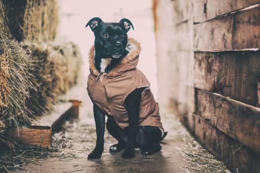 Harness Dog Calf Free Photo