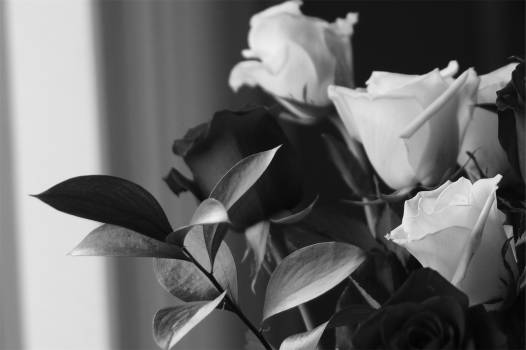roses bouquet black and white  #21352