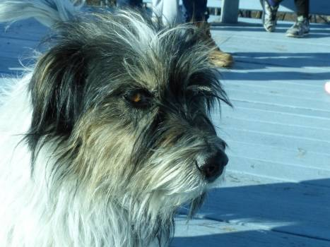 Cairn Terrier Hunting dog #213617