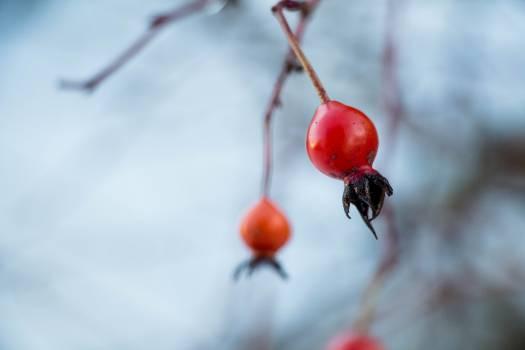 Hip Fruit Berry Free Photo