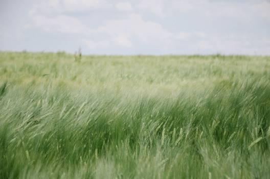 green wheat plants  #21407