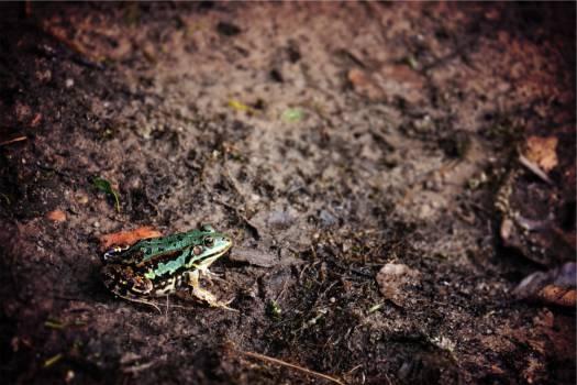 frog animal mud  #21460