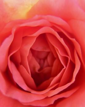 Rose Petal Flower Free Photo