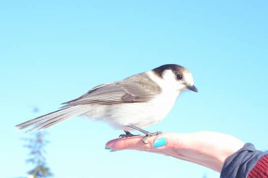 Chickadee Titmouse Bird Free Photo